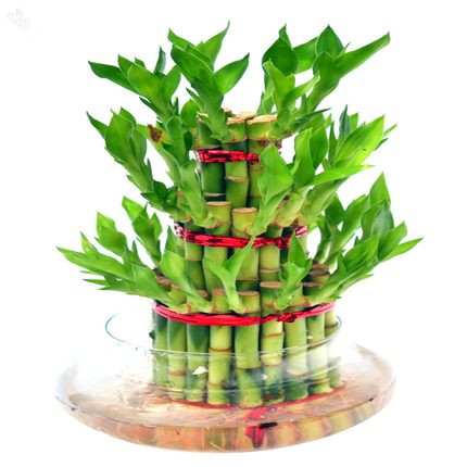 Lucky Bamboo Plants 3 layers